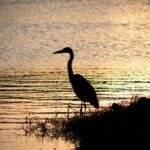 Silhouette of Bird on Body of Water during Sunset